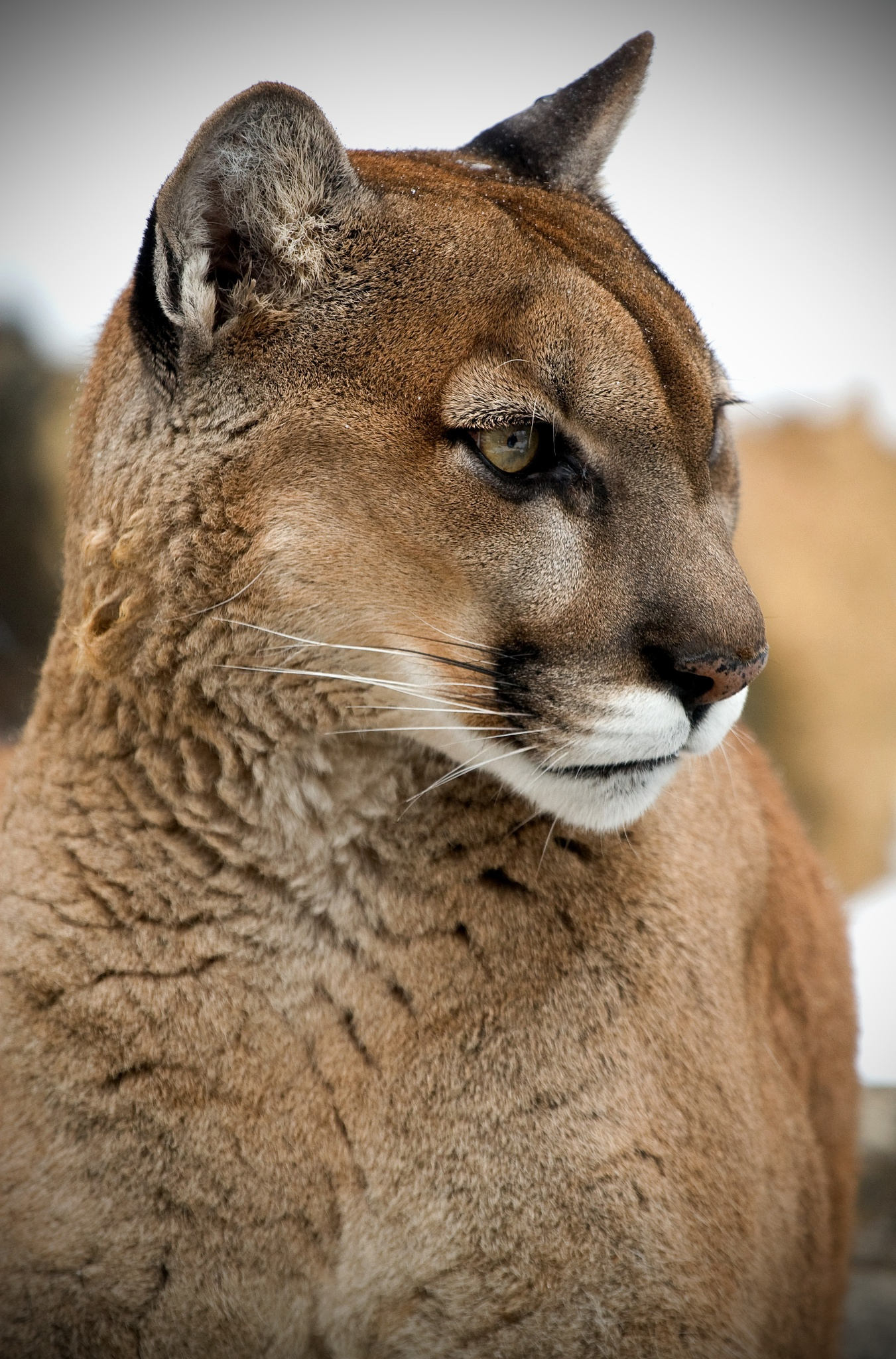 cougar or coyote essay Below is an essay on mountain lion from anti essays, your source for research papers, essays, and term paper examples mountain lions are solitary and very powerful animals it's generally known as a cougar, a panther or a puma.