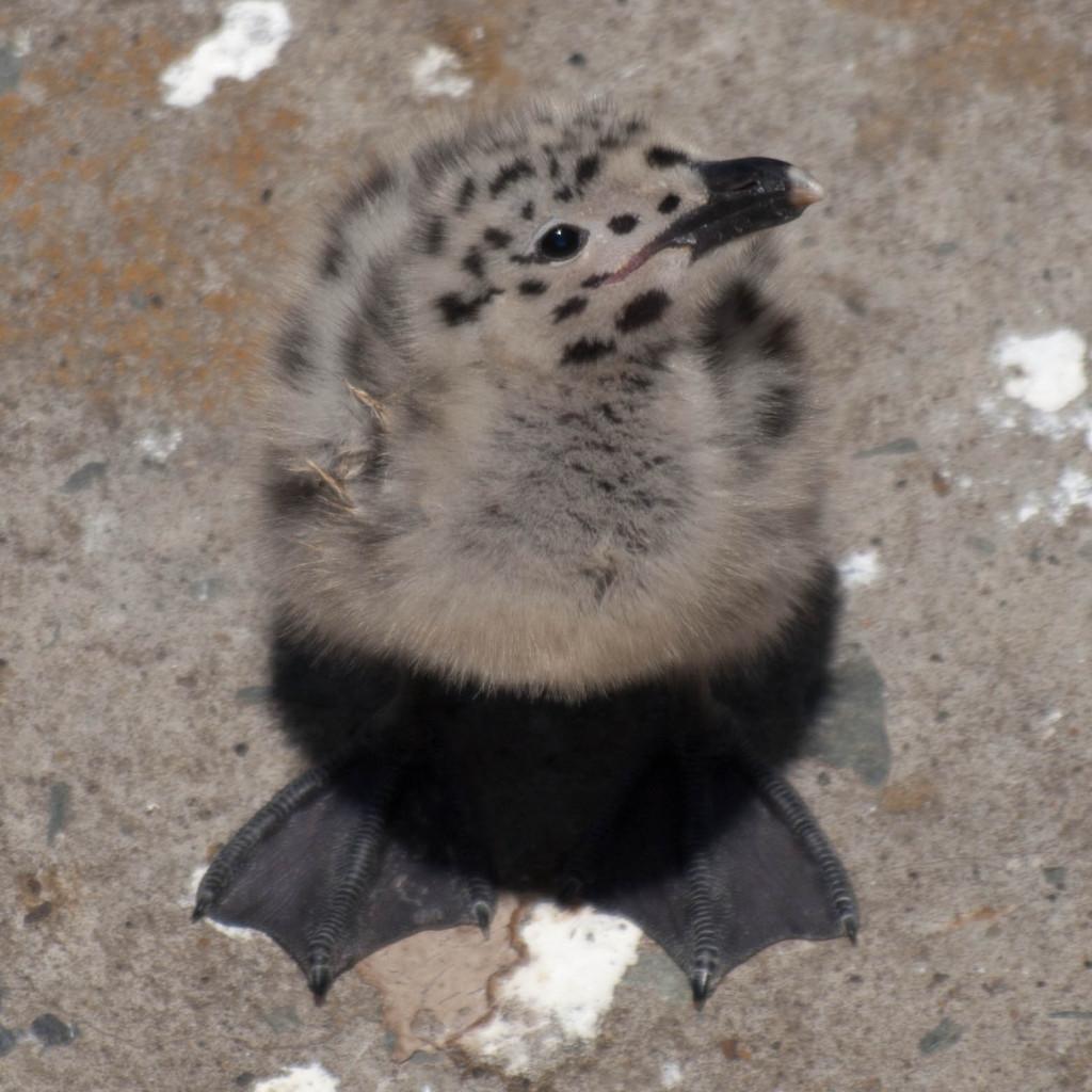 Western Gull Chick