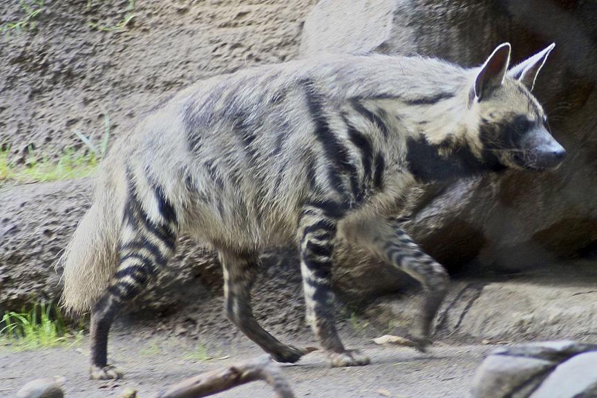 striped-hyena1